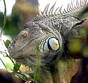 Green Iguana 10 Royalty Free Stock Image - Image: 8826396