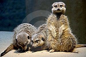 Meerkat 10 Royalty Free Stock Photo - Image: 8826735