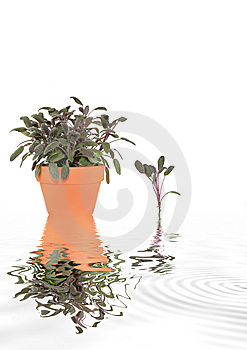 Sage Herb Abstract Royalty Free Stock Images - Image: 8832079