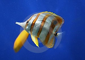 Tropical Fish Royalty Free Stock Photos - Image: 8832128