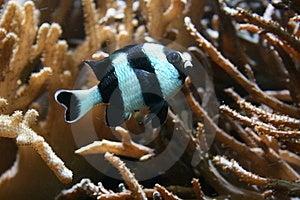 Tropical Fish Royalty Free Stock Photo - Image: 8832145