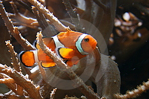 Tropical Fish Royalty Free Stock Photo - Image: 8832165