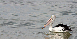 Pelican Royalty Free Stock Images - Image: 8832999