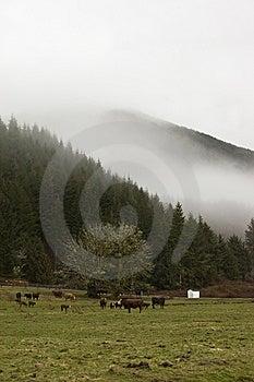 母牛农场华盛顿 免版税库存照片 - 图片: 8834515
