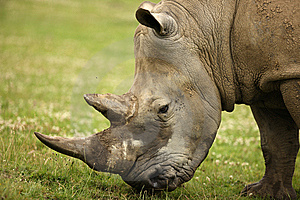 White Rhino Stock Photography - Image: 8835932