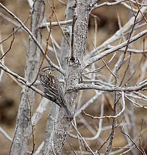 Female Red-winged Blackbird Royalty Free Stock Images - Image: 8836419