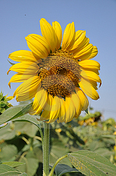 Sunflower Slant Right Royalty Free Stock Photos - Image: 8836898