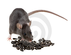 Funny Rat Eat Sunflower Seeds On White Stock Photography - Image: 8839482