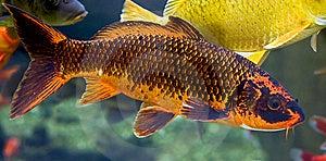 Goldfish 3 Royalty Free Stock Image - Image: 8841366