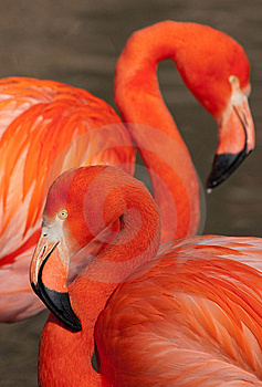 Cuban Flamingo Royalty Free Stock Photography - Image: 8847447