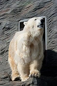 Polar Bear Royalty Free Stock Photos - Image: 8847468