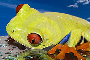 Red Eyed Tree Frog Royalty Free Stock Photo - Image: 8847485