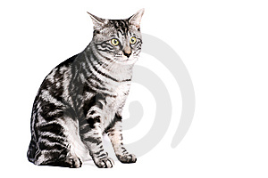 Purebred Kunashir Cat Royalty Free Stock Image - Image: 8850646