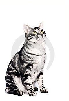 Purebred Kunashir Cat Stock Image - Image: 8850701