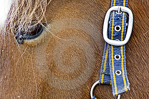 Horse Head With Belt And Buckle On Hair Stock Photo - Image: 8850750