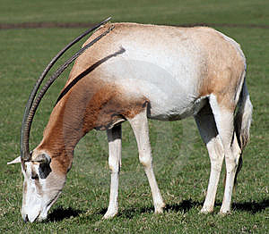 Scimitar-horned Oryx 3 Stock Photography - Image: 8852522