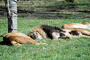 Lions Sleeping Royalty Free Stock Photo - Image: 8852525