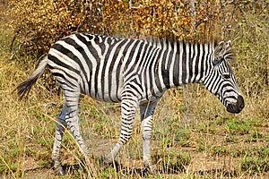 Zebra Royalty Free Stock Photos - Image: 8853998