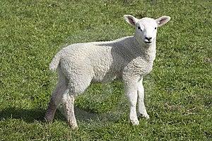 Lamb Royalty Free Stock Photo - Image: 8858785