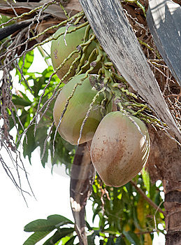 Coconuts Royalty Free Stock Photos - Image: 8860318