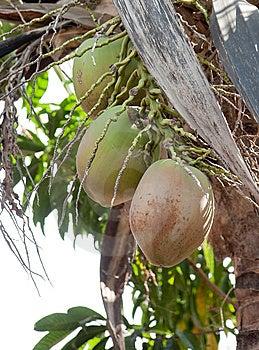 Cocos Fotos de Stock Royalty Free - Imagem: 8860318