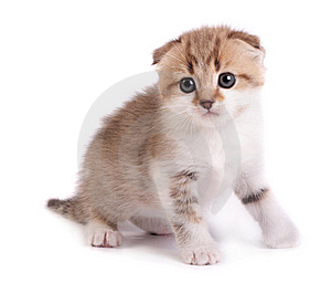 Kitten Plays On A White Background Royalty Free Stock Photo - Image: 8861205