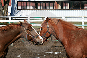 Two Horses Royalty Free Stock Image - Image: 8861596