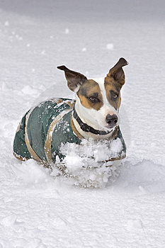 Dog Running In Snow Royalty Free Stock Photography - Image: 8861927