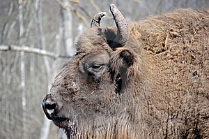 Bison Stock Photo - Image: 8863370