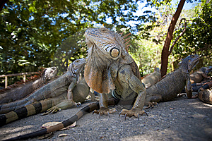 Iguana2 Royalty Free Stock Images - Image: 8870729