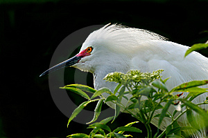 Snowy Egret Stock Images - Image: 8871134