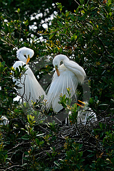 White Egret Royalty Free Stock Photography - Image: 8871157