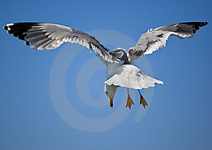 Flying Gull Royalty Free Stock Images - Image: 8875539