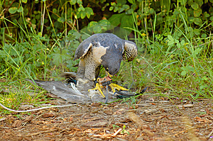 Peregrine Falcon With Its Prey Royalty Free Stock Photography - Image: 8875557
