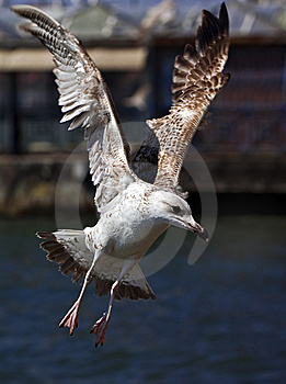 Seagull Stock Photo - Image: 8875590