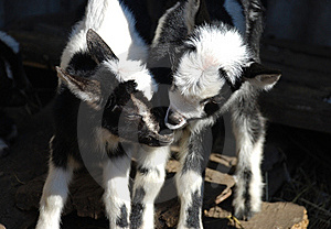 Baby Goat Stock Images - Image: 8881504