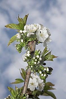 White Cherry Blossom Stock Image - Image: 8887031