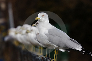 Seagulls Royalty Free Stock Images - Image: 8890259
