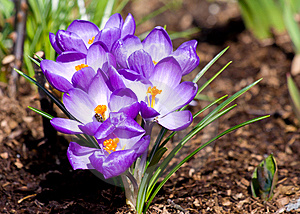 Blooming Crocus Cluster Stock Photography - Image: 8892052