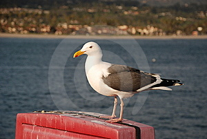 Sea Gull Stock Image - Image: 8893841