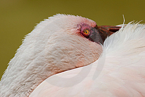 Pink Flamingo Stock Photos - Image: 8893953