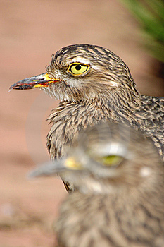 Spotted Thick Knee Pair Stock Photo - Image: 8896500