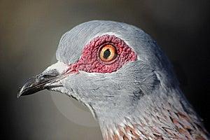 Rock Pigeon Stock Photo - Image: 8896540