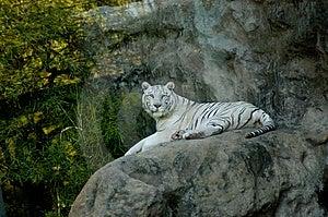White Tiger Royalty Free Stock Photos - Image: 8896788