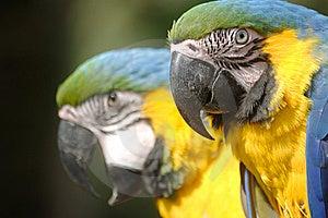Mackaw-Papagei Lizenzfreies Stockfoto - Bild: 8897065