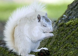 White Squirrel And Food Royalty Free Stock Photography - Image: 8899637