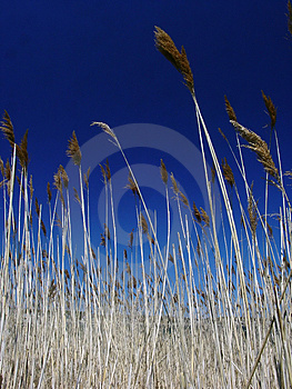 Tall Grasses Royalty Free Stock Photo - Image: 899895