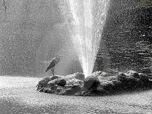 Heron Under Shower. Stock Photography - Image: 8900502