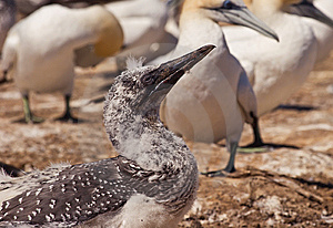 Gannet Stock Photos - Image: 8903833