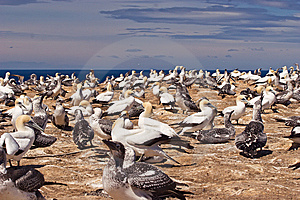 Gannet 04 Royalty Free Stock Photography - Image: 8903857